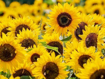Sonnenblumenfeld_Universalformers